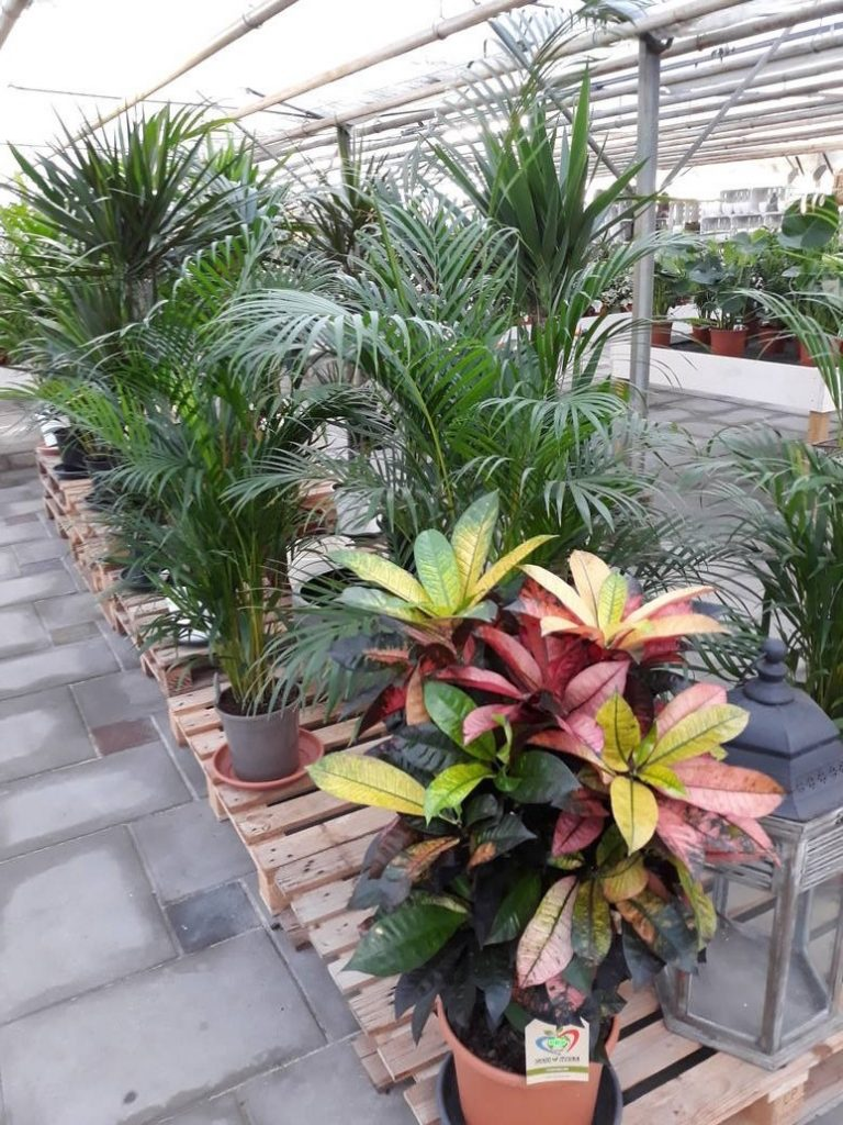 kamerplant met bont blad bij Jonkheer Plantencentrum Hillegom