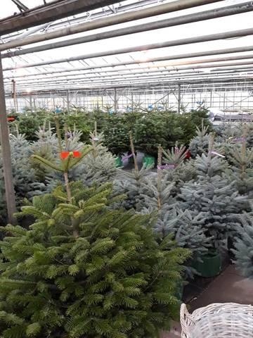 kerstbomen te koop bij Jonkheer Plantencentrum Hillegom
