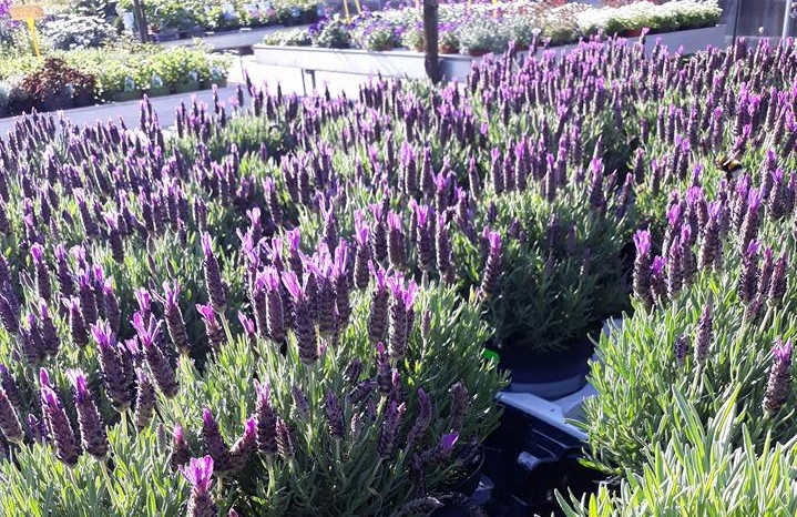 bloeiende lavendel bij Jonkheer Plantencentrum Hillegom