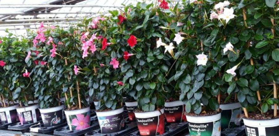bloeiende kamerplant Mandevilla bij Jonkheer Plantencentrum Hillegom