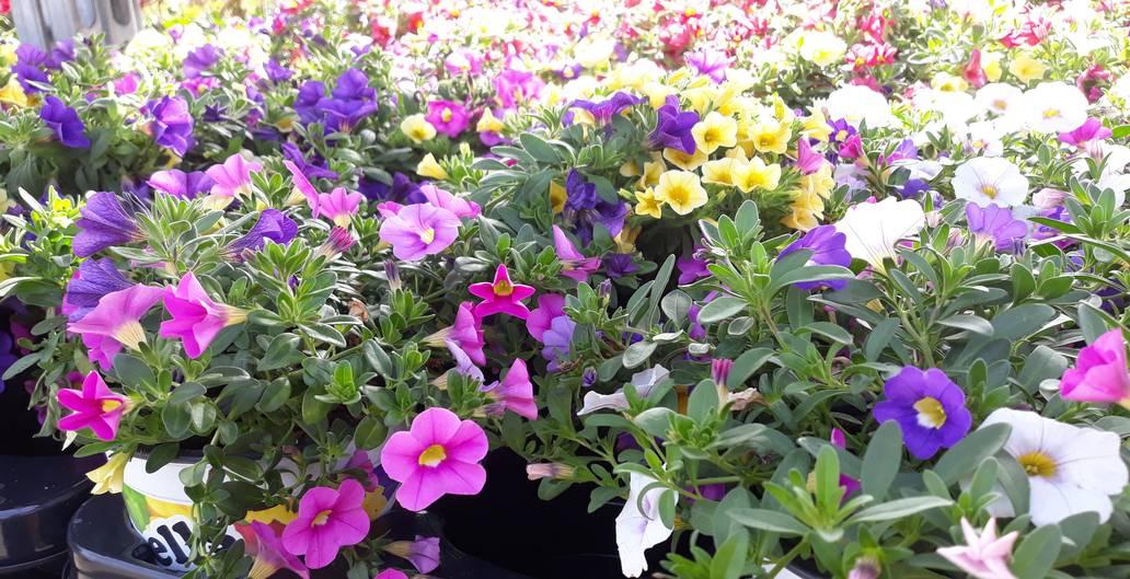 tuinplanten zomerbloeiers bij Jonkheer Plantencentrum Hillegom