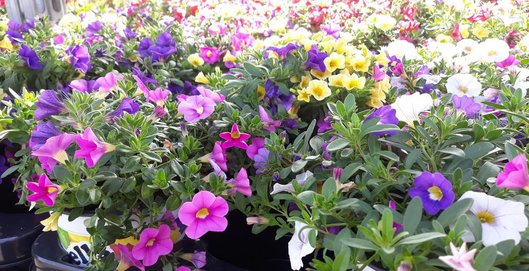 bloeiende tuinplanten bij Jonkheer Plantencentrum Hillegom